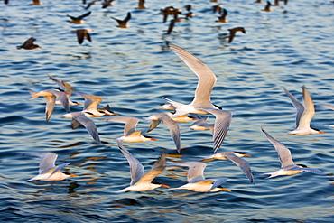 Elegant terns (Sterna elegans) nesting on tiny and remote Isla Rasa in the middle Gulf of California (Sea of Cortez), Baja California Norte, Mexico