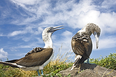 Blue-footed booby (Sula nebouxii) pair on Punta Suarez on Espanola Island in the Galapagos Island Group, Ecuador. The Galapagos are a nesting and breeding area for blue-footed boobies.