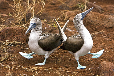 Blue-footed booby (Sula nebouxii) pair in courtship ritual in the Galapagos Island Group, Ecuador. The Galapagos are a nesting and breeding area for blue-footed boobies.