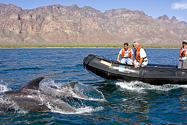 Shore type bottlenose dolphins (Tursiops truncatus) bowridng the Zodiac near Puerto Escondido in the lower region of the Gulf of California (Sea of Cortez), Baja California Norte, Mexico