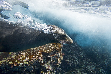 Galapagos sea lion (Zalophus wollebaeki) underwater at Champion Islet near Floreana Island in the Galapagos Island Archipeligo, Ecuador. Pacific Ocean