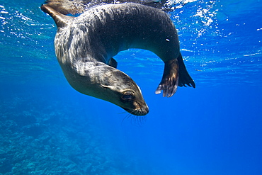 Galapagos sea lion (Zalophus wollebaeki) underwater at Champion Islet near Floreana Island in the Galapagos Island Archipeligo, Ecuador. Pacific Ocean.