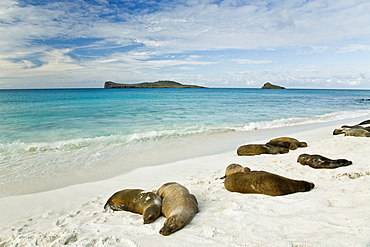 Galapagos sea lions (Zalophus wollebaeki) basking in the sun in Gardner Bay on Espanola Island in the Galapagos Island roup, Ecuador. Pacific Ocean.