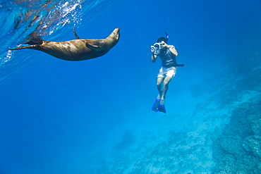 Galapagos sea lion (Zalophus wollebaeki) being filmed underwater at Champion Islet near Floreana Island in the Galapagos Island Archipeligo, Ecuador. Pacific Ocean