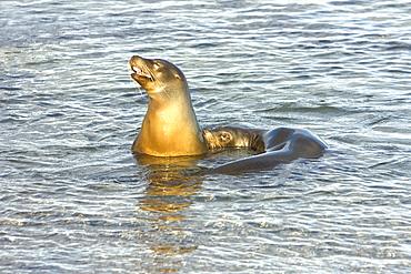 Galapagos sea lion (Zalophus wollebaeki) in Gardner Bay on Espanola Island in the Galapagos Island roup, Ecuador. Pacific Ocean