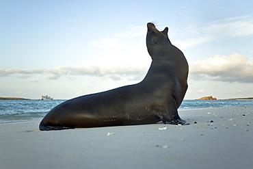 Galapagos sea lion (Zalophus wollebaeki) on the beach at Gardner Bay on Espanola Island in the Galapagos Island Archipeligo, Ecuador. Pacific Ocean.