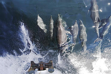 Bottlenose Dolphins (Tursiops truncatus) bowriding in the lower Gulf of California (Sea of Cortez), Mexico.