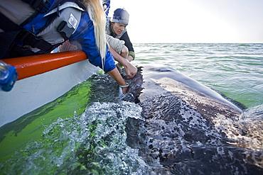 Rubbing the baleen plates of a curious California Gray Whale (Eschrichtius robustus) calf in San Ignacio Lagoon on the Pacific side of the Baja Peninsula, Baja California Sur, Mexico