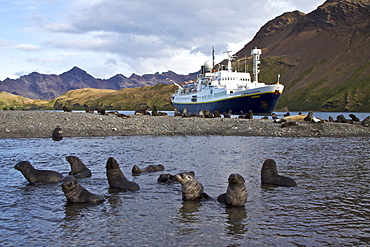 Antarctic Fur Seal (Arctocephalus gazella) pups at play at the abandoned Norwegian whaling station at Stromness on the island of South Georgia, Southern Atlantic Ocean