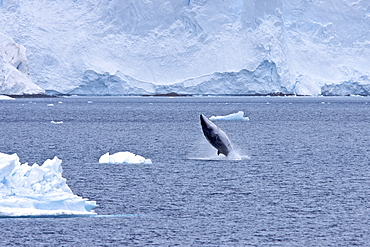 Adult Antarctic Minke Whale (Balaenoptera bonaerensis), also known as the Southern Minke Whale, breaching near the Antarctic Peninsula