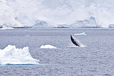 Adult Antarctic Minke Whale (Balaenoptera bonaerensis), also known as the Southern Minke Whale, surfacing near the Antarctic Peninsula