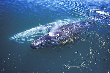 Curious California Gray Whale mother and calf (Eschrichtius robustus) approaching boat in San Ignacio Lagoon, Baja California Sur, Mexico.
