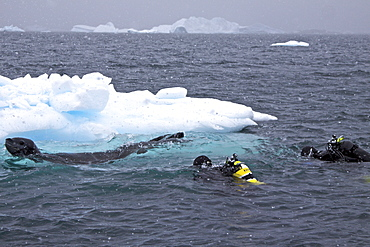 Divers Lisa Trotter and Robert Alexander enter the water with a large, curious, female leopard seal (Hydrurga leptonyx) near Booth Island on the western side of the Antarctic Peninsula, Antarctica