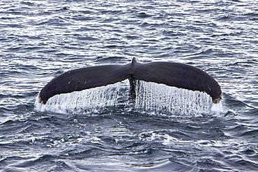 Humpback whale (Megaptera novaeangliae) fluke-up dive near the Antarctic Peninsula