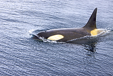 A small pod of about 12 Type B Orca (Orcinus nanus) encountered in Southern Gerlache Strait near the western side of the Antarctic Peninsula, Antarctica