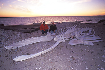 Adult California Gray Whale (Eschrichtius robustus) skeleton on the beach in San Ignacio Lagoon, Baja, Mexico.