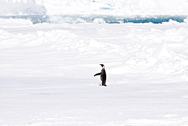 A lone adult Emperor Penguin (Aptenodytes forsteri) on an ice floe just north of Snow Hill Island in the Weddell Sea, Antarctica.