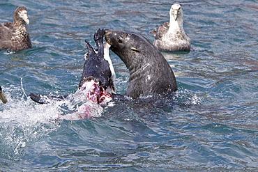 Adult Antarctic Fur Seal (Arctocephalus gazella) killing and then eating a king penguin on the island of South Georgia, southern Atlantic Ocean