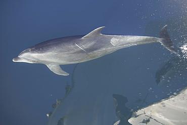 Adult bottlenose dolphin (Tursiops truncatus) bow riding in the calm waters surrounding Isla del Carmen in the Gulf of California (Sea of Cortez), Baja California Sur, Mexico.