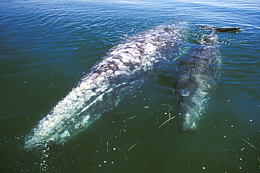 Mother and calf California Gray Whale (Eschrichtius robustus) in the calm waters of San Ignacio Lagoon, Baja, Mexico.