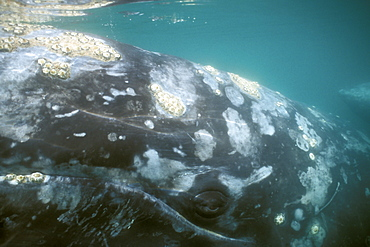 Adult California Gray Whale (Eschrichtius robustus) underwater (eye detail) in the calm waters of San Ignacio Lagoon, Baja, Mexico.
