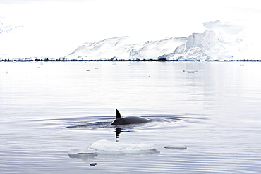 Adult Antarctic Minke Whale (Balaenoptera bonaerensis) surfacing in ice near Larrouy Island on the western side of the Antarctic Peninsula
