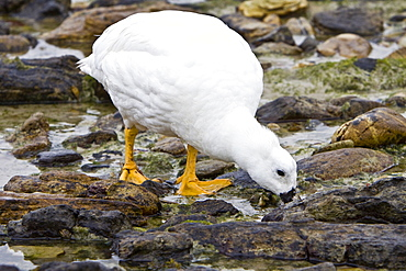 The Kelp Goose (Chloephaga hybrida), is a member of the duck, goose and swan family Anatidae