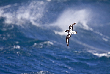 Adult cape petrel (Daption capense) on the wing in and around the Antarctic peninsula
