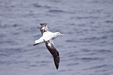 Wandering albatross (Diomedea exulans) on the wing in the Drake Passage between the tip of South America and the Antarctic Peninsula, Southern ocean