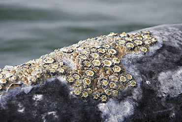 Adult California gray whale (Eschrichtius robustus) surfacing (note barnacles and whale lice) in the calm waters of Magdalena Bay, Baja California Sur, Mexico.