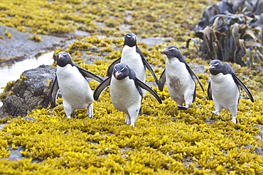 Adult Southern Rockhopper Penguins (Eudyptes chrysocome chrysocome) in the Falkland Islands