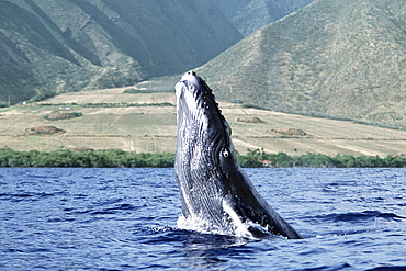 Pacific humpback whale calf breach/lunge along the coast of West Maui, Hawaii.