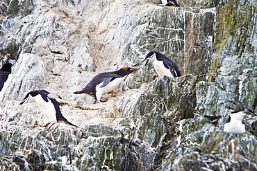 A lone adult Macaroni Penguin (Eudyptes chrysolophus) among a chinstrap penguin colony at Point Wild on Elephant Island in the South Shetland Islands, Antarctica