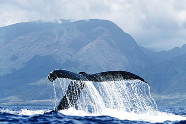 Adult Pacific humpback whale inverted tail-lob in the AuAu Channel, Maui, Hawaii.