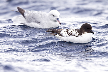 Adult southern fulmar (Fulmarus glacialoides) on the wing in the Drake passage between the tip of South America and Antarctica. Southern Ocean