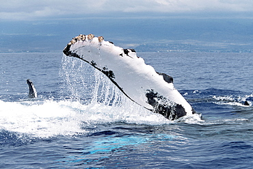 Adult Pacific humpback whale pec-slapping in the AuAu Channel, Maui, Hawaii.