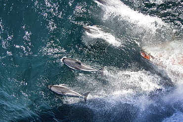 Adult Peale's Dolphin (Lagenorhynchus australis) bow-riding in the Falkland Islands, South Atlantic Ocean