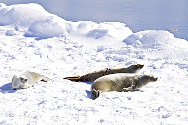 Crabeater seals (Lobodon carcinophaga) swimming along or hauled out on fast ice floe in Bourgeois Fjord near the Antarctic Peninsula