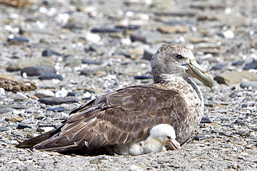 Southern Giant Petrel (Macronectes giganteus) parent and chick on Barren Island in the Falkland Islands, South Atlantic Ocean