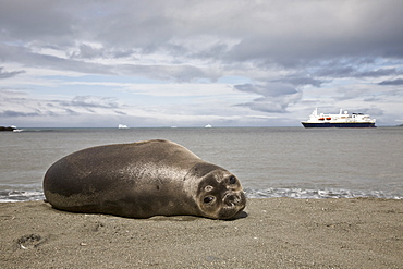 Young southern elephant seal (Mirounga leonina) on the beach at South Georgia in the Southern Ocean