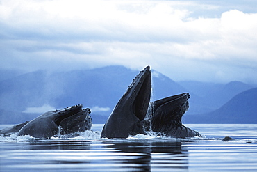 "Adult Pacific Humpback Whales, Megaptera novaeangliae, cooperatively ""bubble-net feeding"", Southeast Alaska"