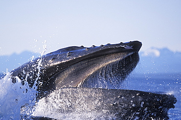 """Humpback Whale (Megaptera novaeangliae) cooperatively """"bubble-net"""" feeding (extreme detail, note baleen plates in upper jaw) in Chatham Strait, Southeast Alaska, USA."""