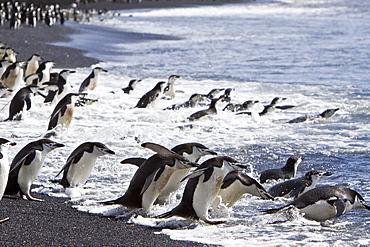 Chinstrap penguin (Pygoscelis antarctica) colony on the Antarctic Peninsula
