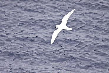 Adult Snow Petrel (Pagodroma nivea) on the wing in and around the Antarctic peninsula