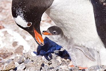Gentoo penguins (Pygoscelis papua) in Antarctica