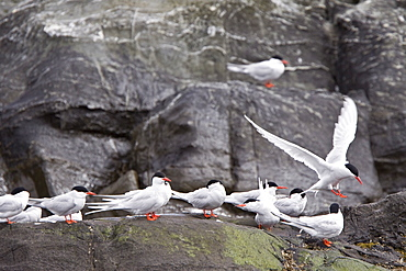 Adult South American Tern (Sterna hirundinacea) at breeding colony on offshore islets in the Beagle Channel, South America