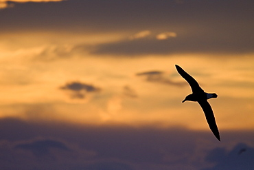 Adult Grey-headed Albatross, (Thalassarche chrysostoma), also known as the Grey-headed Mollymawk, on the wing at sunrise in Crystal Sound, Antarctica, Southern Ocean