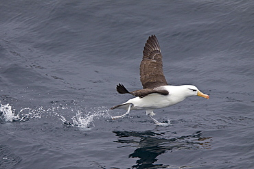 Adult Black-browed albatross (Thalassarche melanophrys) on the wing in the Drake Passage between South America and Antarctica, Southern Ocean
