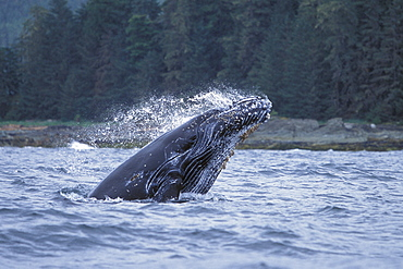 Humpback Whale calf (Megaptera novaeangliae) breaching in Chatham Strait, Southeast Alaska, USA. Pacific Ocean.