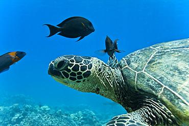 Green sea turtle (Chelonia mydas) at cleaning station at Olowalu Reef, Maui, Hawaii, USA